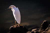 A lone Snowy egret stands watch on the rocky shoreline at the San Leandro Marina.