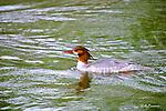 Ducks, common merganser, mergas merganser