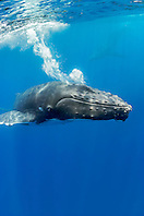 humpback whale, Megaptera novaeangliae, blowing underwater, Hawaii, Pacific Ocean