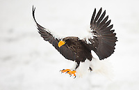 Steller's Sea Eagle (Haliaeetus pelagicus) in flight, Japan, February 2015
