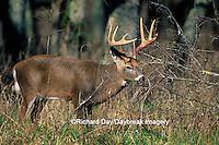 01982-01211 White-tailed Deer (Odocoileus virginianus) buck    TN