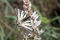 Segelfalter, Segel-Falter, Iphiclides podalirius, Scarce Swallowtail, Sail Swallowtail, Pear-tree Swallowtail