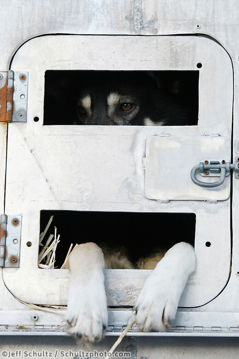 "Ray Reddington Jr's dog ""Dealer"" waits patiently in its box at the staging area of the Anchorage start of Iditarod 2009"