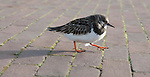 Turnstones in Scheveningen Harbour came very close to me