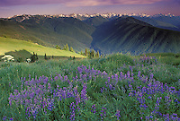 Olympic penninsula in Washington State summer wildflowers blooming in high mountain meadows overlooking Hurricane Ridge, USA