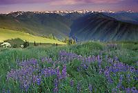 Olympic penninsula in Washington State summer wildflowers blooming in high mountain meadows overlooking Hurricane Ridge, USA