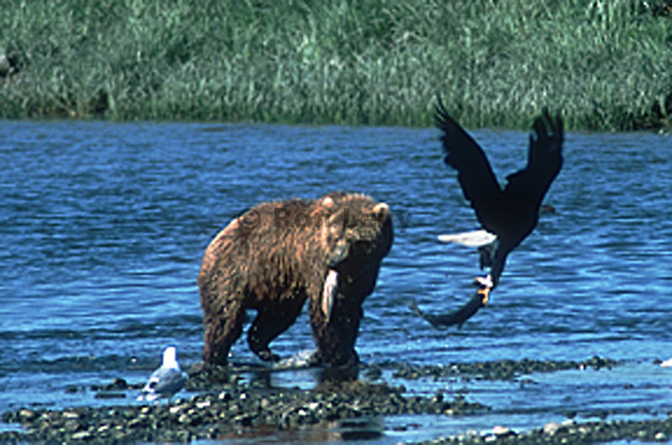 Grizzly and bald eagle with salmon, McNeil River, Alaska