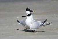 Sandwich Terns feeding each other