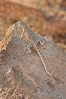 442000004 a wild nevada side-blotched lizard uta stansburiana nevadensis perches on a rock along chalk bluffs road in owens valley inyo county california united states