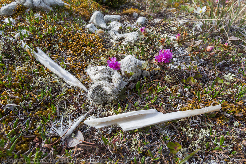 Dall sheep bones and wolf scat. Arctic National Wildlife Refuge, Brooks Range, Arctic Alaska.