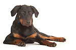 Beauceron Dog - Male, Laying Down, Studio, White Background
