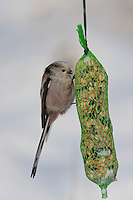 Schwanzmeise, Schwanz-Meise, an der Vogelfütterung, Fütterung im Winter bei Schnee, am Meisenknödel, Fettfutter, Winterfütterung, Meise, Aegithalos caudatus, long-tailed tit, Mésange à longue queue
