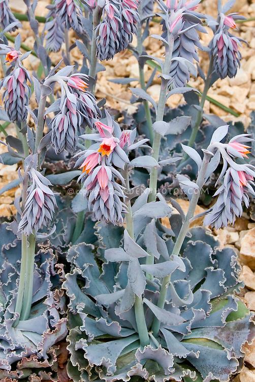 Echeveria shaviana (Mexican Hens) in flower, succulent blue fleshy desert plant
