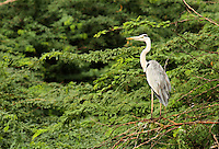 Stock photo: Grey Heron sitting on dry branches in thick bushes in Khijadiya Bird Sanctuary.<br />