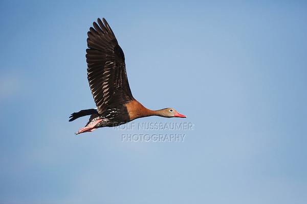 Black-bellied Whistling-Duck (Dendrocygna autumnalis), adult in flight, Welder Wildlife Refuge, Sinton, Texas, USA