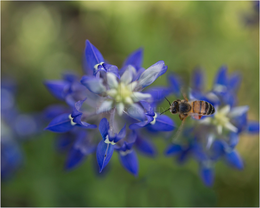 "Just as in ""Bees at Work 1"" - this bluebonnet image captures a little honeybee flying between the bluebonnets. I had set up my triped to look down at these Texas Wildflowers and just waited. Before long, the bees were buzzing around doing their work."