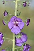 Purple Mullein - Verbascum phoenicium