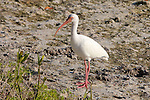 American White Ibis, Audubon Corkscrew Swamp Sanctuary