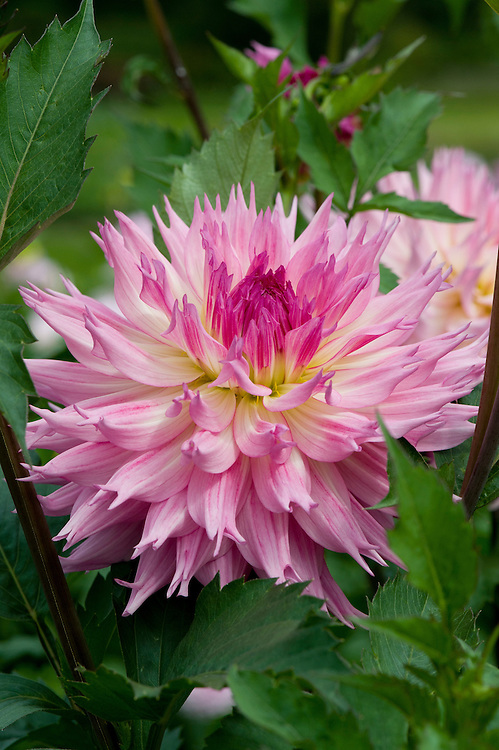 Dahlia 'Pinelands Pet', early September.