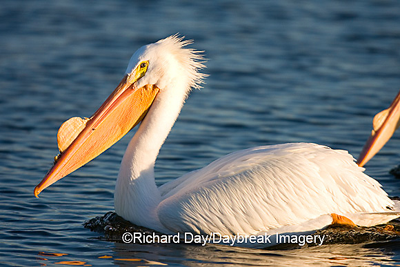 00671-008.11 American White Pelican (Pelecanus erythrorhynchos)  Riverlands Environmental Demonstration Area,  MO