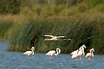 White Stork soaring low over lagoon with Flamingos standing in background