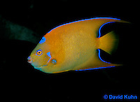 0119-08uu  Juvenile Queen Angelfish - Holacanthus ciliaris © David Kuhn © David Kuhn/Dwight Kuhn Photography