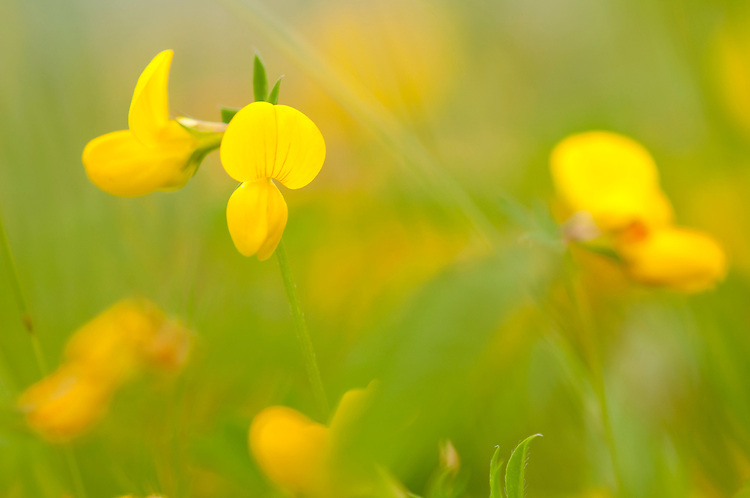 Bird's foot trefoil, Lotus corniculatus, in traditional hay meadow. Clattinger Farm, Wiltshire. UK. This habitat has been reduced by 98% in the UK since the Second World War. This is largely due to the intensification of farming practices.