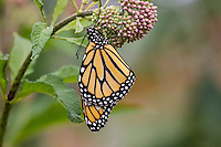 Western Monarch Butterfly (Danaus plexippus) on milkweed plant.  OR.  Summer.