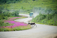 July 30, 2013, Caribou and Denali Shuttle Bus, Denali National Park and Preserve, Alaska, United States.