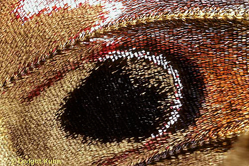LE06-004x  Cecropia Moth - adult wing scales close-up - Hyalophora cecropia