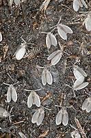 Abortfliege, Filterfliege, Schmetterlingsmücke, Massenschlupf auf einem stark in der Zersetzung befindlichen Pferdeapfel, Entwicklung in Kot,  Psychoda spec., sewage fly, Schmetterlingsmücken, Psychodidae, mothflies, owl midges, sewage farm flies, waltzing midges