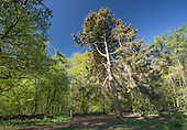 Corsican Pine - Pinus nigra, Stoke Woods, Bicester, Oxfordshire owned by the Woodland Trust