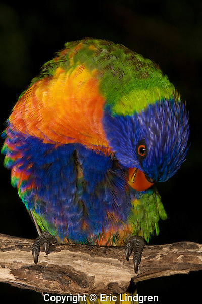 A Rainbow Lorikeet preens itself after a rain-shower, Brisbane Australia.  //  Rainbow Lorikeet - (Psittacidae: Trichoglossus haematodus) Length to 35cm; wingspan to 46cm; weight to 130g. The green areas of its plumage turn brown when saturated with water, and return to green when dry, indicating that green is a structural colour caused by interference with the wavelength of light, rather than a pigment embedded in the feather. Found in coastal regions in northern and eastern Australia from the Kimberley Region in northern Western Australia (Red-collared Lorikeet) to eastern South Australia. Occurs in forests, woodlands and rural and urban areas. Feeds mainly on nectar and pollen which it gathers with its brush-tipped tongue. Aviary-escapees are established in many towns and cities. Now occurs in south-west Western Australia, New Zealand, Hong Kong.  Widespread with many subspecies - often with a different name - from eastern Indonesia (Maluku = Molucca Islands) through New Guinea east to Vanuatu and New Caledonia, north through Manus and the Admiralty Islands the Philippine Islands (taxonomy of the group is not yet finalised and this may be a different species).  Common.  //Eric Lindgren//