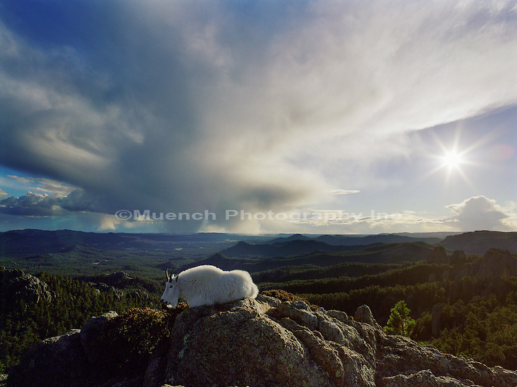 """Mountain Goat, The Needles  Black Hills NF  SOUTH DAKOTA"""