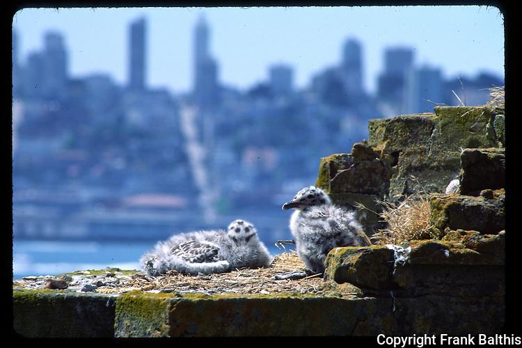 Gull chicks at Alcatraz Island