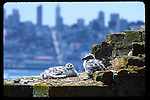 Gull chicks at Alcatraz Island