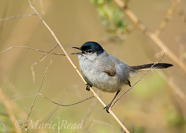 California Gnatcatcher (Polioptila californica), male singing, Crystal Cove State Park, California, USA<br /> The bird is listed as threatened under the United States Endangered Species Act.