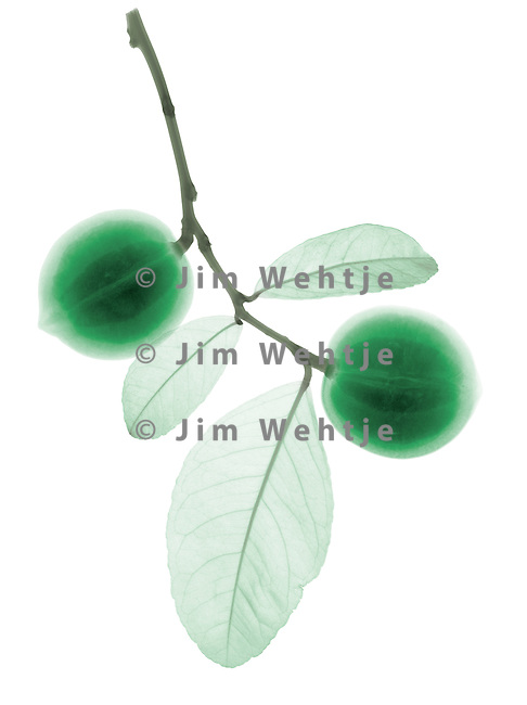 X-ray image of immature Meyer lemons (color on white) by Jim Wehtje, specialist in x-ray art and design images.