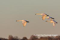 00758-02015 Trumpeter Swans (Cygnus buccinator) in flight Riverlands Migratory Bird Sanctuary St. Charles Co., MO