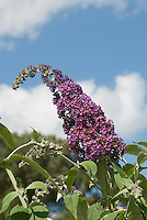 Butterfly Bush Buddleja davidii 'Bicolor' against blue sky and clouds
