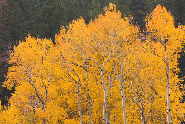 fall, color, aspen, Populus tremuloides, trees, forest, nature, scenic, October, Beaver Meadows, Rocky Mountain National Park, Colorado, USA