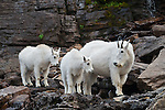 Mountain goat nanny and kids. Glacier National Park, Montana.