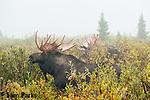 Bull moose in rut with fog. Roosevelt National Forest, Colorado.