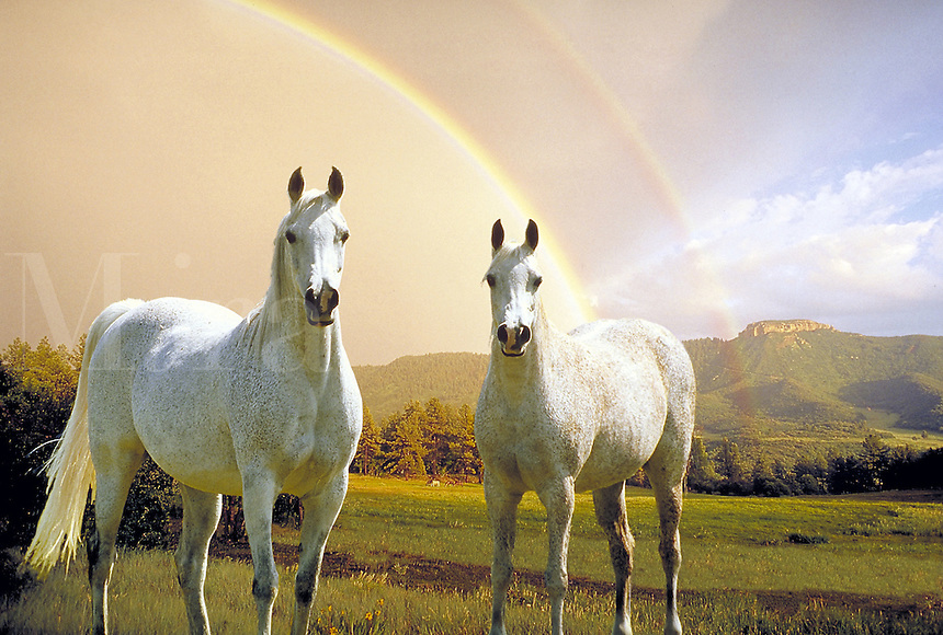 Two white Arabian mares with double rainbow and distant mountain. Power, beauty, grace, horses,animals, horse,  Colorado.