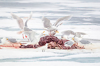 glaucous gull, Larus hyperboreus, feeding on the remains of Atlantic walrus, Odobenus rosmarus rosmarus, on ice, left by polar bear, Spitsbergen, Svalbard, Norway, Arctic Ocean