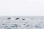 Pacific White-sided Dolphin (Lagenorhynchus obliquidens) group porpoising, Monterey Bay, California