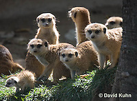 0329-1018  Meerkat Group on Lookout with Baby (Pup), Suricata suricatta  © David Kuhn/Dwight Kuhn Photography.