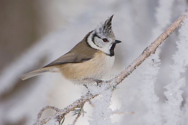 Crested Tit, Parus cristatus, adult on branch with frost by minus 15 Celsius, Lenzerheide, Switzerland, Europe