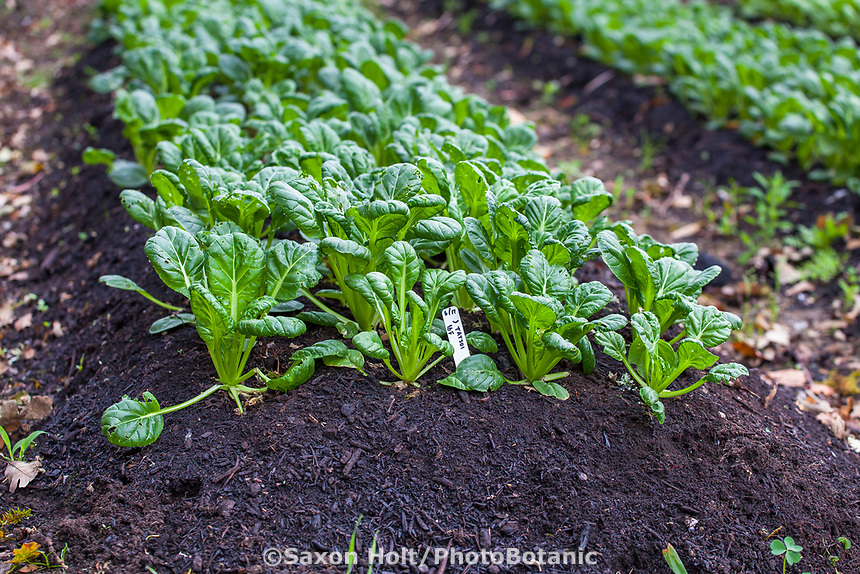No-till vegetable row with top dressing to soil of compost for bok choy, Singing Frogs Farm