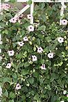 Black-eyed Susan vine, Thunbergia alata 'Raspberry Smoothie'